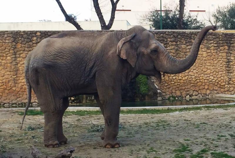 得年47歲的Flavia,3歲離開夥伴後便再也沒有見過同類,在動物園所見的都是人,最後抑鬱而終。(圖取自Zoo de Córdoba臉書)