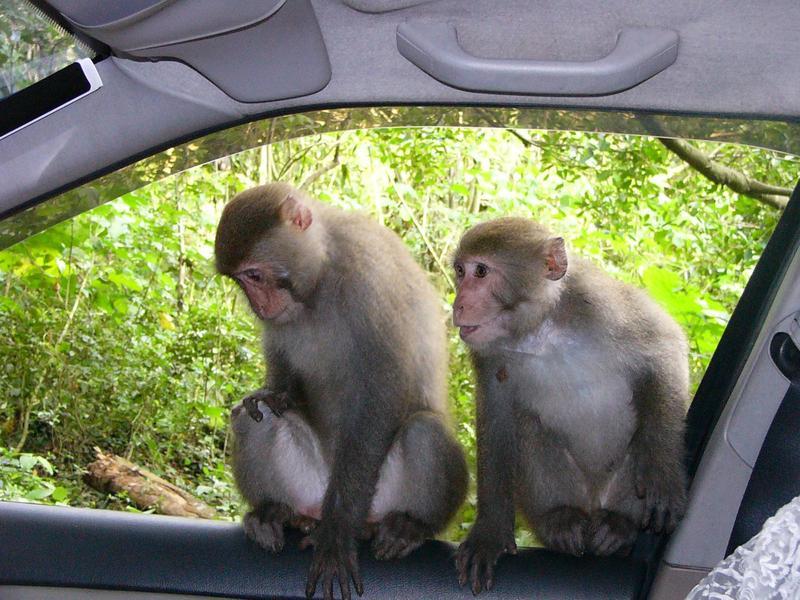台灣獼猴已於今年1月自保育類動物除名,但仍受「野生動物保育法」保障,不得任意飼養或捕殺。