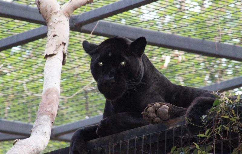 一名女遊客為了和美洲豹自拍,擅自跨越護欄,結果遭凶狠的美洲豹抓傷。(翻攝自Wildlife World Zoo, Aquarium & Safari Park推特)
