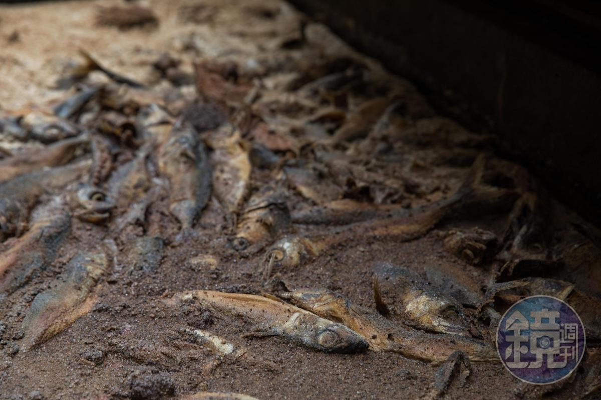 「民星食品廠」使用新鮮沙丁魚或鯖魚製作魚露,醃製半年尚可見魚形。