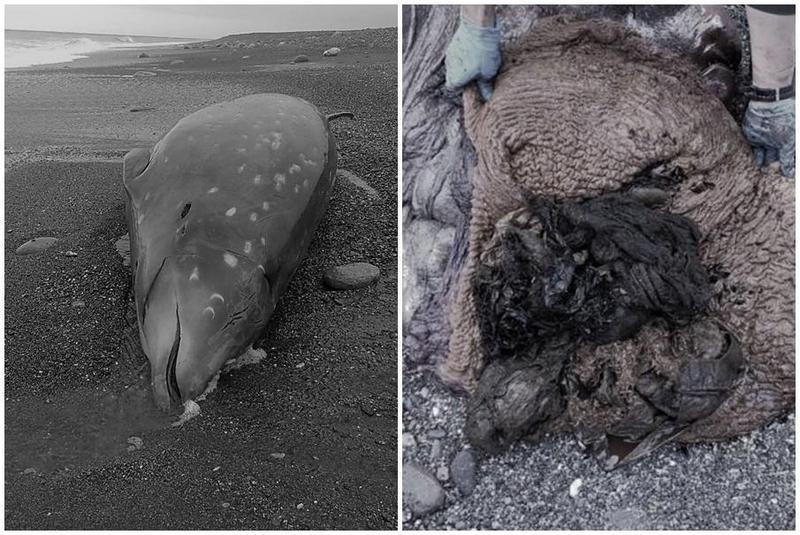 上週五(15日)花蓮發現一頭柯氏喙鯨死亡個體,胃中發現許多塑膠袋、麻布袋,腹中還有胎兒一屍兩命。(翻攝自海洋委員會海洋保育署臉書)