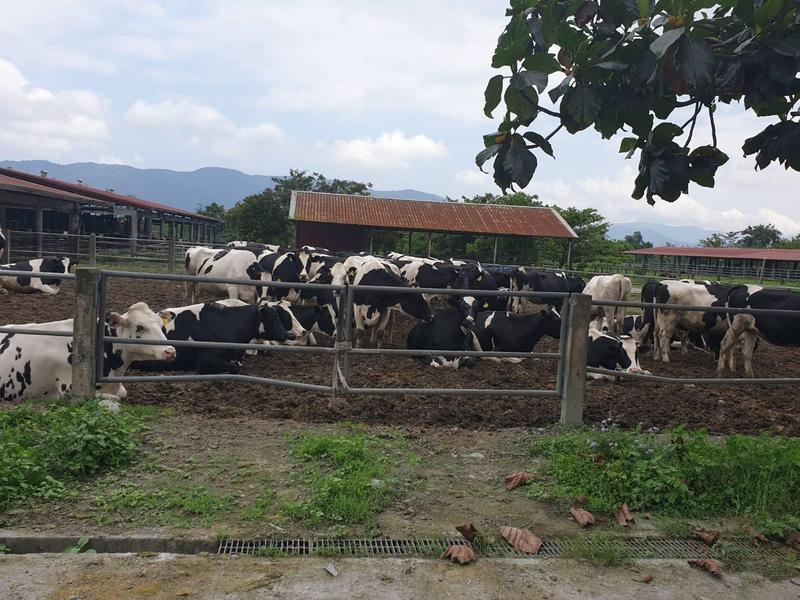 地震發生後,李登輝基金會飼養的乳牛集體到欄舍外的空地休息。(王燕軍提供)