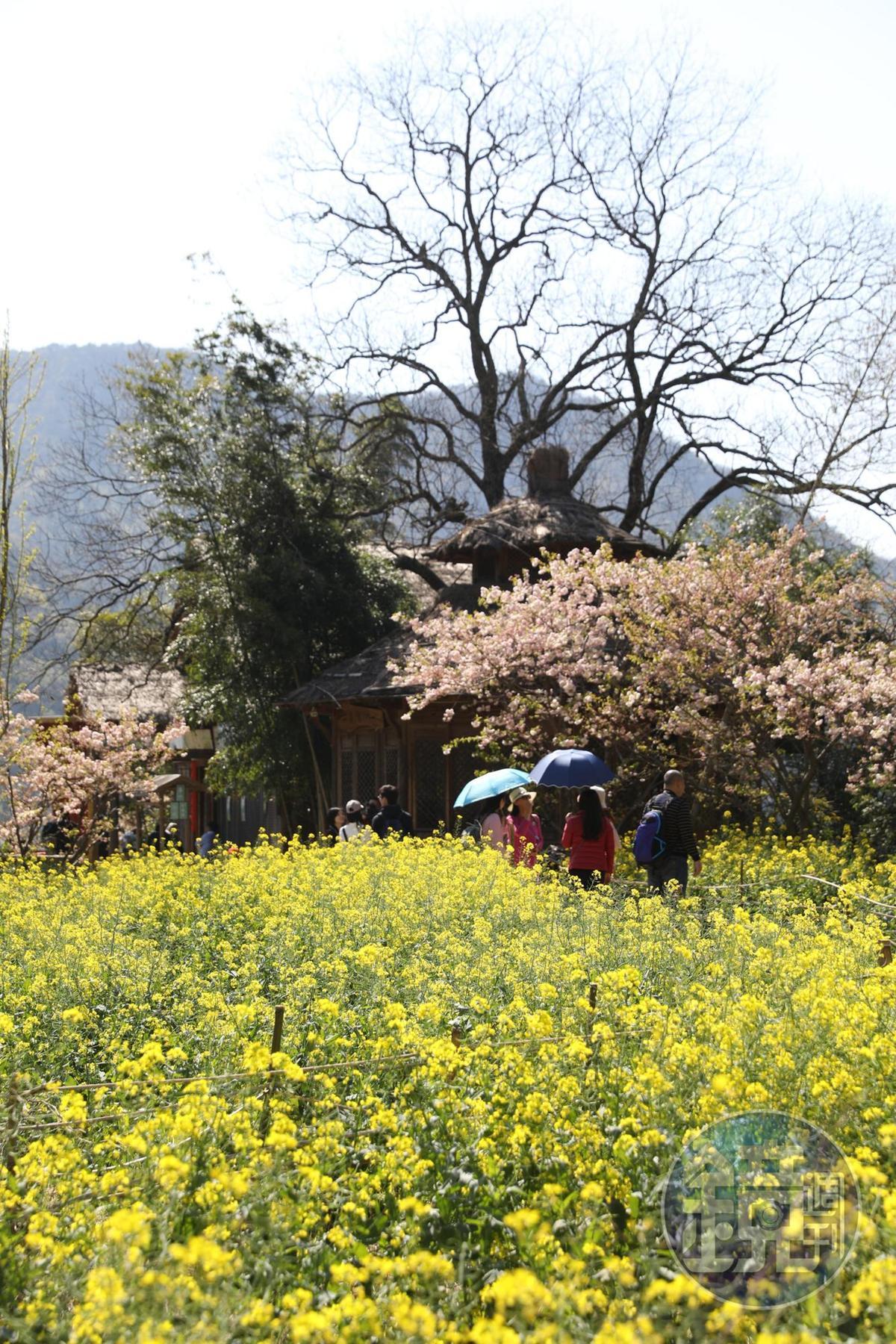 春天不只有油菜花,櫻花也開始綻放。