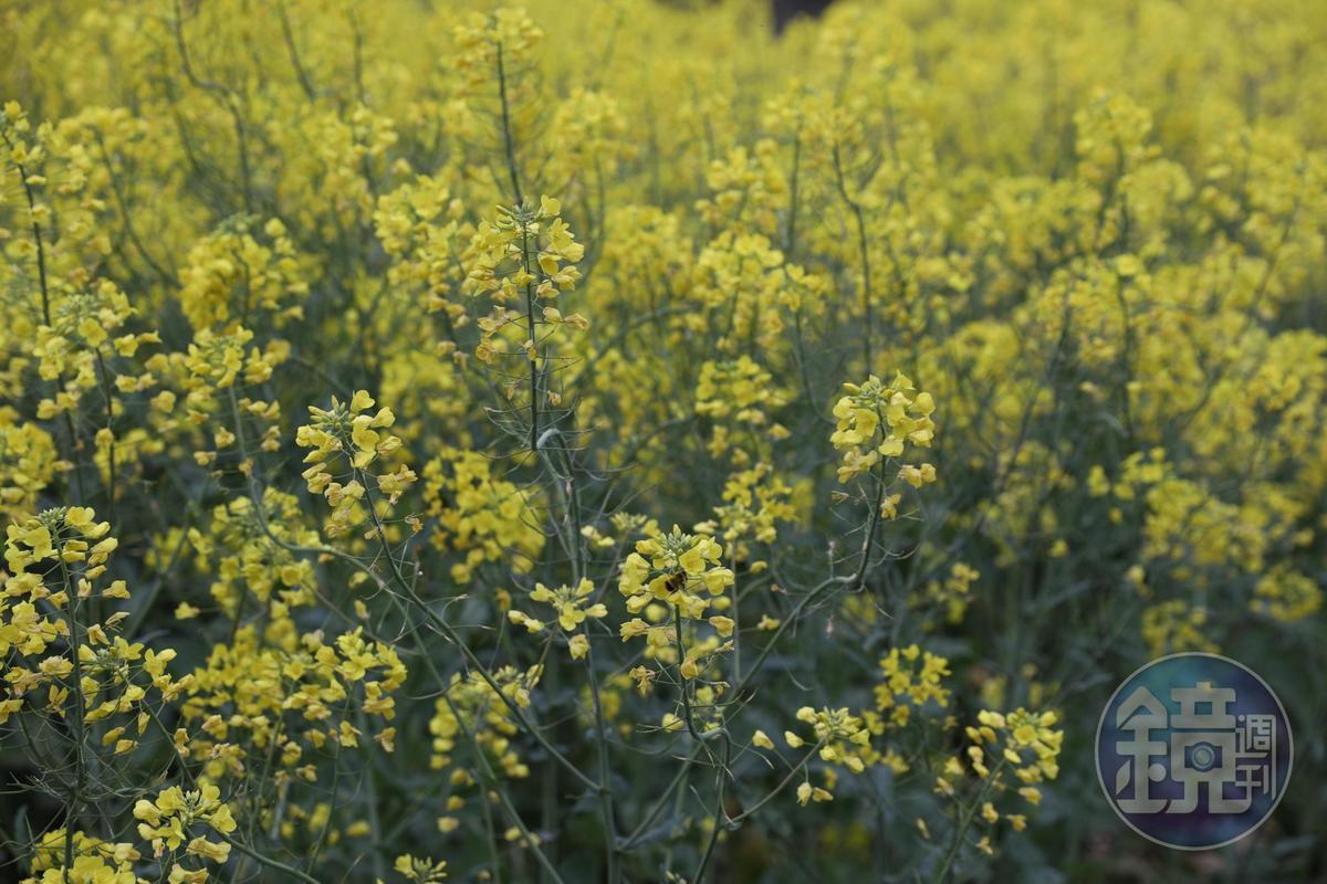 3月到4月初是查平坦油菜花盛開的季節。