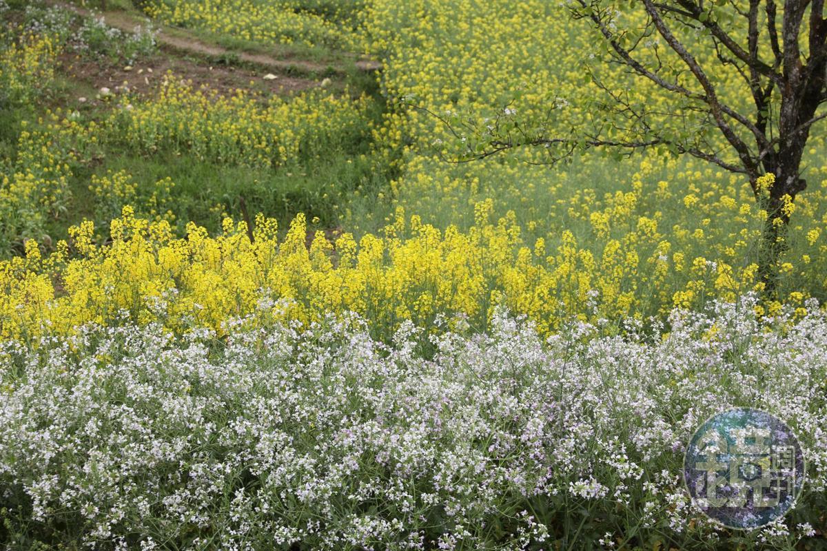 各種顏色的花卉輪番盛開,有如大地昭告世人春天已至。