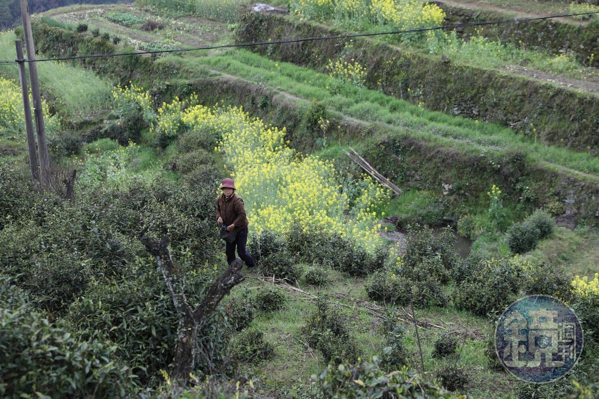 趁著茶樹剛發芽,許多婦人到田裡採明前茶。