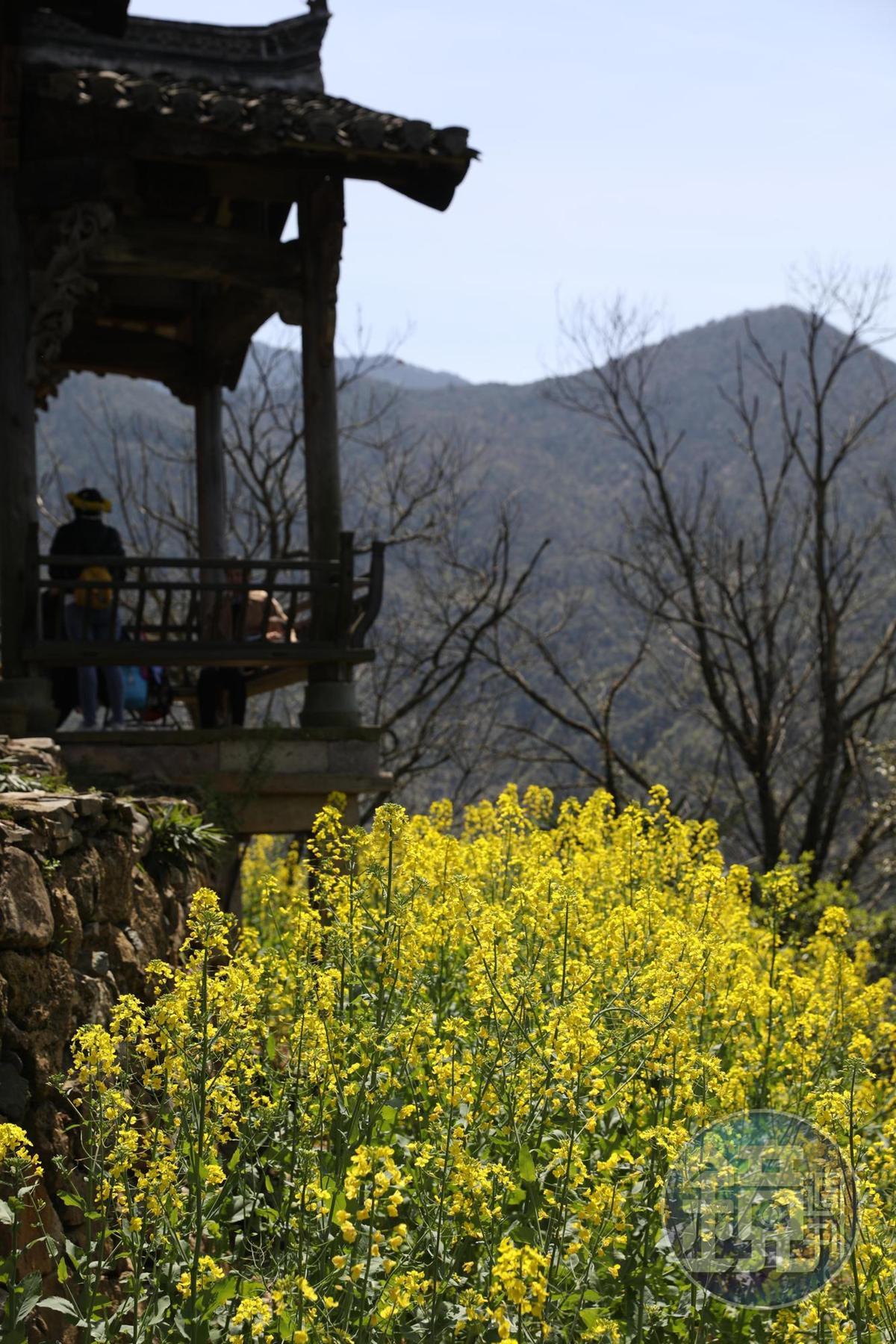 春天的篁嶺天街,處處都是金黃的油菜花。