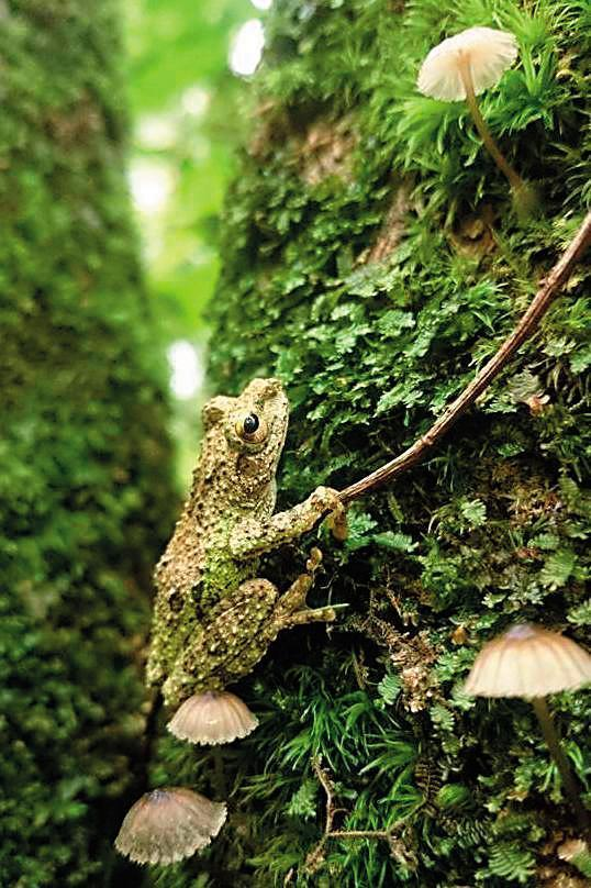 遇見蜘蛛在毬果間結網、夜中初生的小蜘蛛、休息的青蛙(圖)…是爬樹時意外的樂趣。(陳雅得提供)