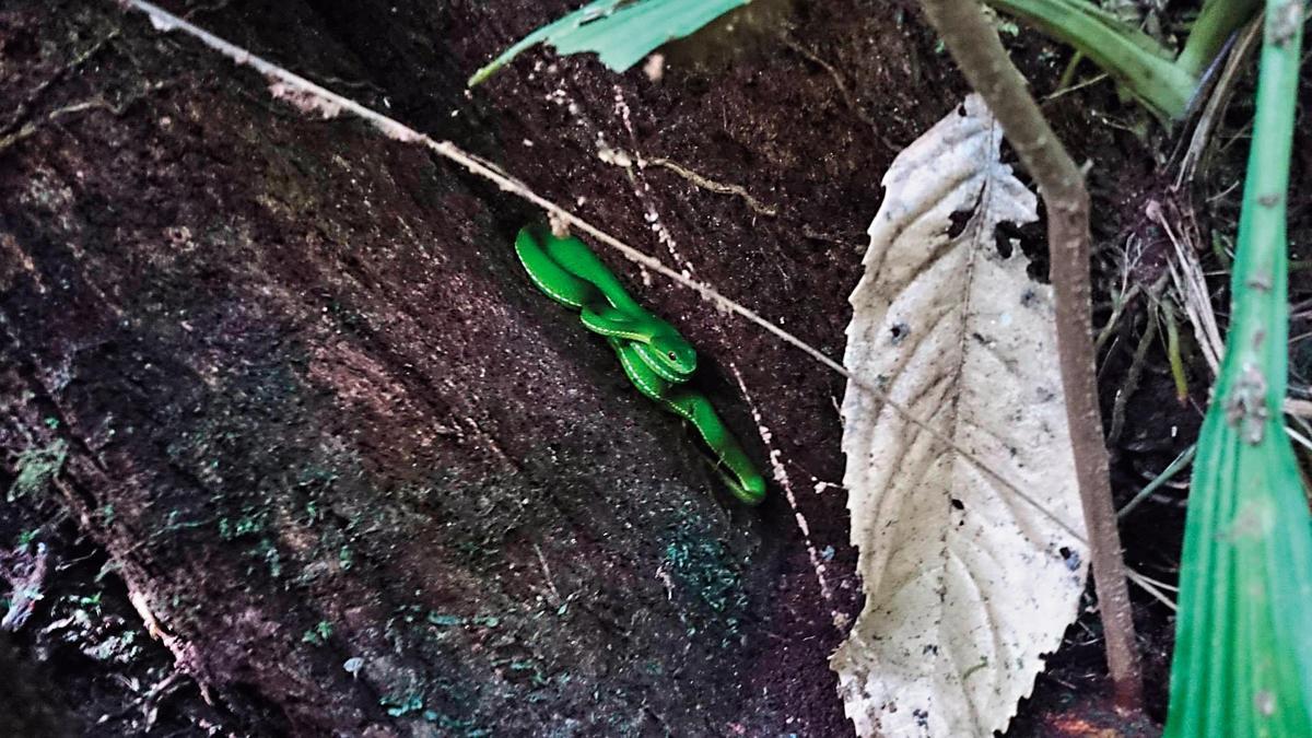 枯木堆中常有青竹絲,觀察前若清理環境,可避免被咬。(陳雅得提供)