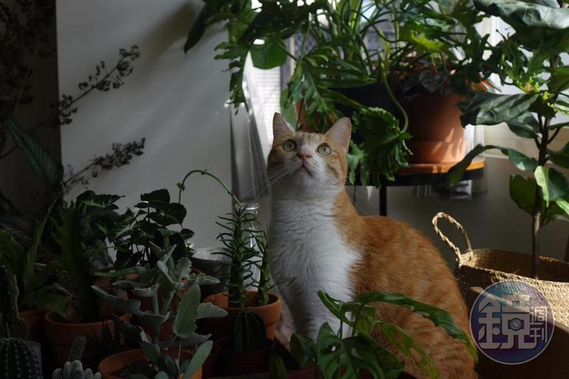 我家喵星人經常安靜地坐在植物之間擺動耳朵,不知道他聽見了什麼。