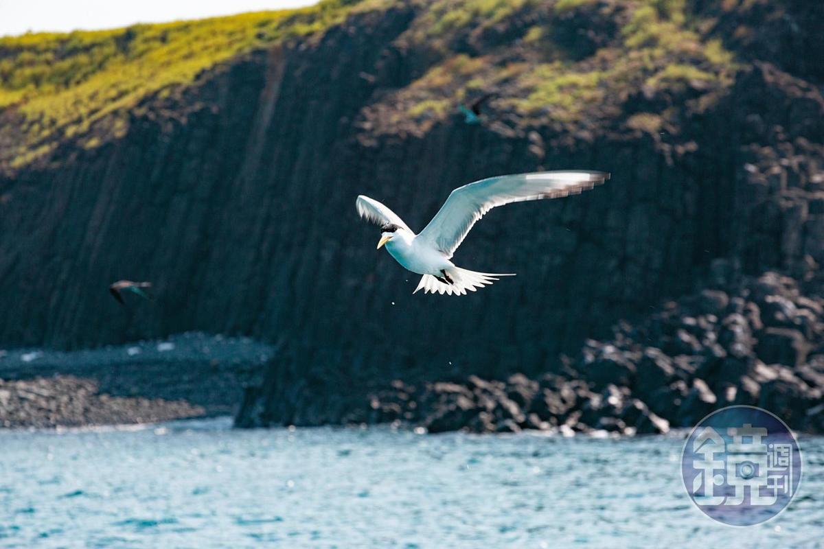 船家會餵食燕鷗,吸引海鷗靠近。