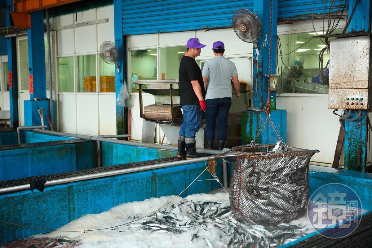 現撈鯖魚離港後全程保持低溫,選別池也保持海水同樣鹹度,務求讓鯖魚維持在最新鮮狀態。