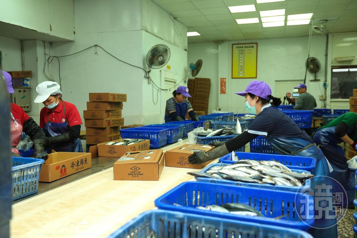 人工選別後,會依魚的尺寸規格,加工製成冷凍魚或罐頭原料。