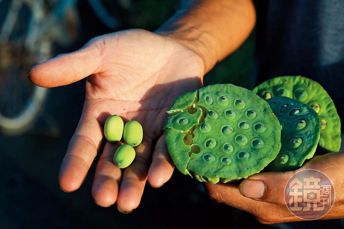還未完全成熟的蓮子,色澤偏綠,吃起來像是水果,帶點水分,蓮子心也不苦
