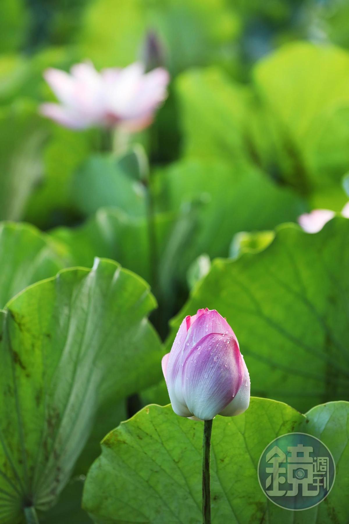 第一天開花的蓮花,並不會完全盛開,太陽升起沒多久後,還能聞到包藏在花瓣間的淡淡香氣。