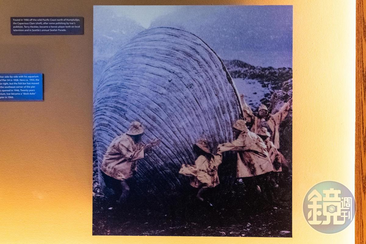 1986年從太平洋西岸Humptulips撈起的超大Capacious Clam。