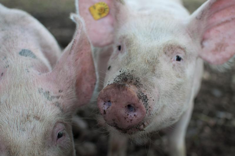 南韓農林畜產食品部今證實爆發首例非洲豬瘟。圖為示意圖,非疫區。(pexels)