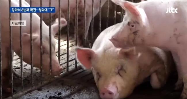 非洲豬瘟疫情持續在亞洲擴大,目前已有9個國家淪陷。(翻攝自網路)