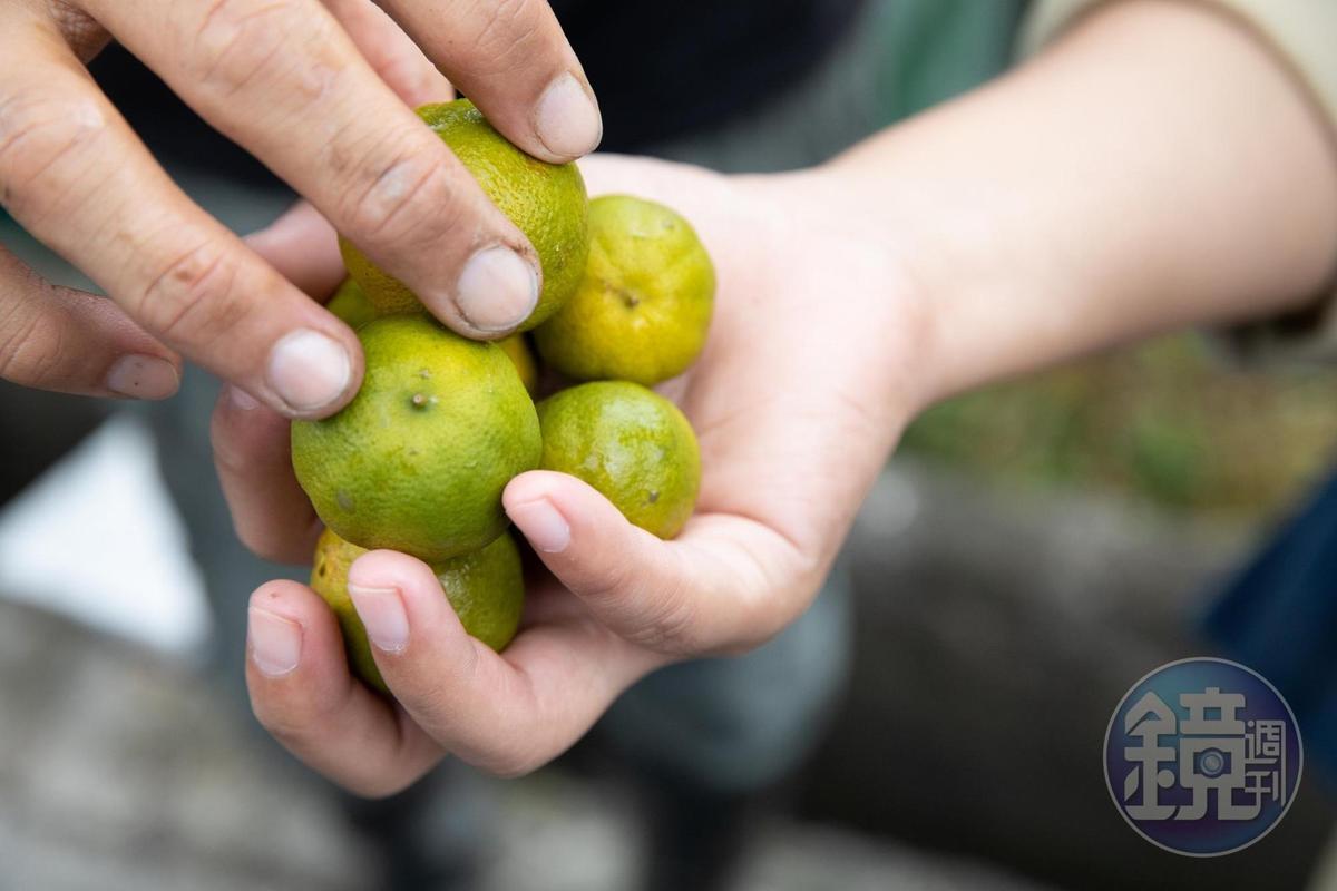 田裡採下的新鮮青檬,表皮淡香。