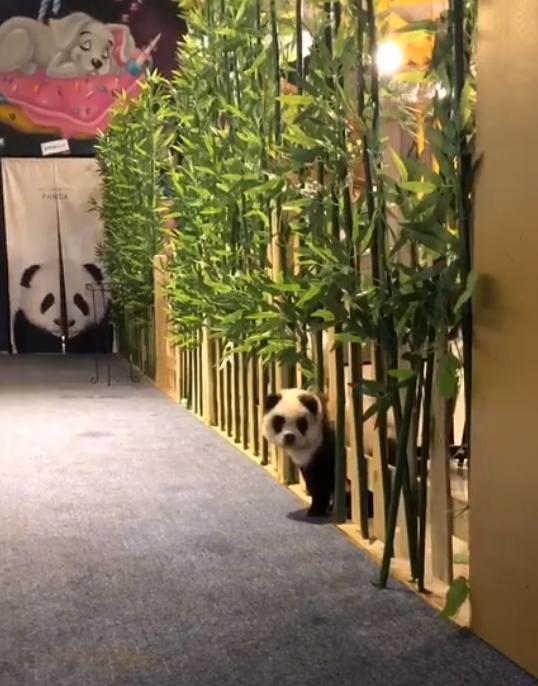 中國成都一間寵物咖啡廳將鬆獅犬染成「貓熊狗」,引發熱議。(翻攝自糖果星球微博)