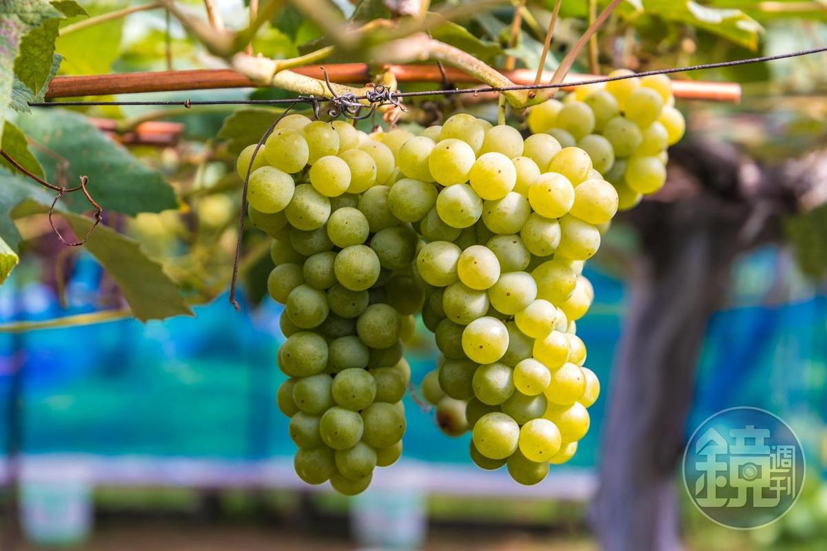 「王將果樹園」內綠色Niagara品種葡萄果香濃郁。