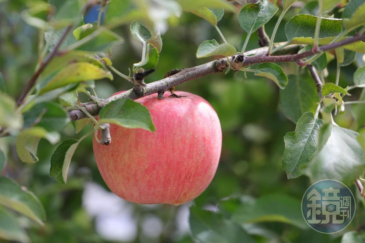 11月正是「王將果樹園」的蘋果產期。