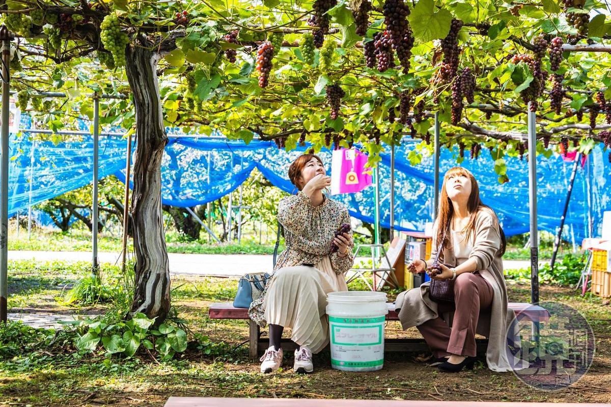 遊客開心地坐在40年老藤葡萄樹下,邊採邊吃。
