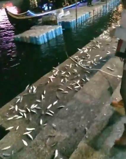 韓粉在愛河拍下一段魚跳上岸邊的影片。(翻攝自臉書)