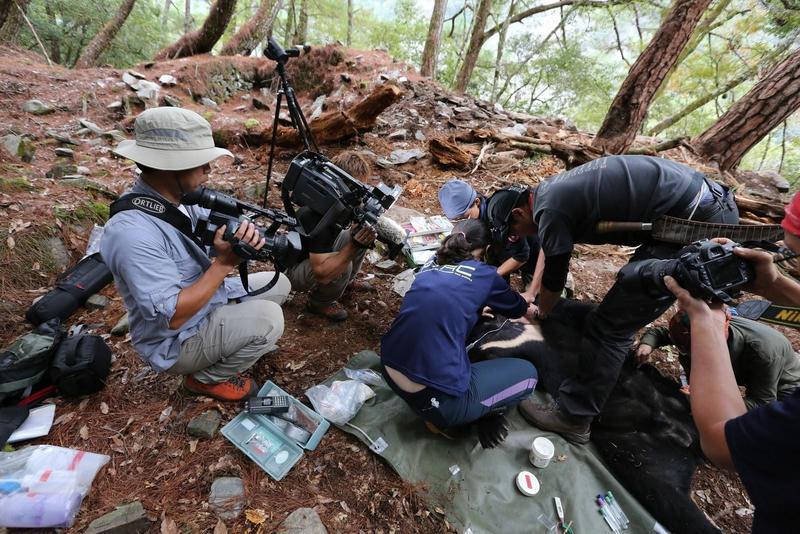 黃美秀研究團隊藉捕捉繫放台灣黑熊,拼湊其分布狀況。(大麥影像傳播工作室提供)