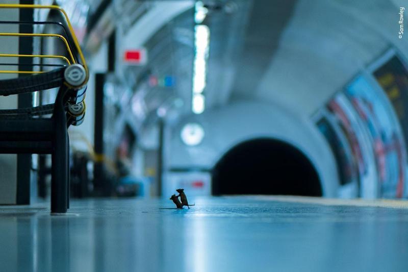 英國攝影師山姆(Sam Rowley)捕捉到倫敦地鐵兩隻老鼠搶奪食物瞬間,奪得野生動物攝影大賽票選獎。 (翻攝自Natural History Museum官網)