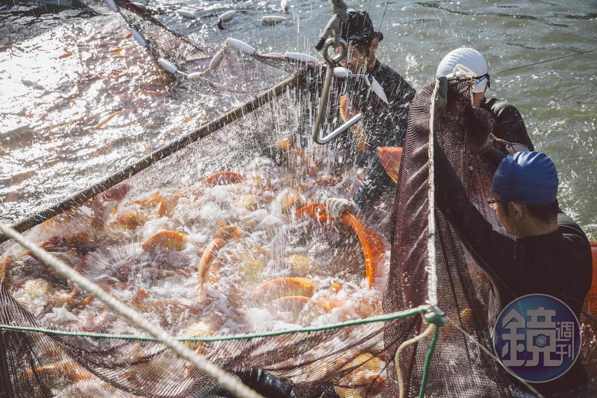 中華海洋生技發展生態循環養殖系統,將原本生長在淡水的紅尼羅魚,逐步馴化成海水飼養,稱為「海紅鯛」,沒有養殖魚的土味和腥味。(照片提供:中華海洋生技)