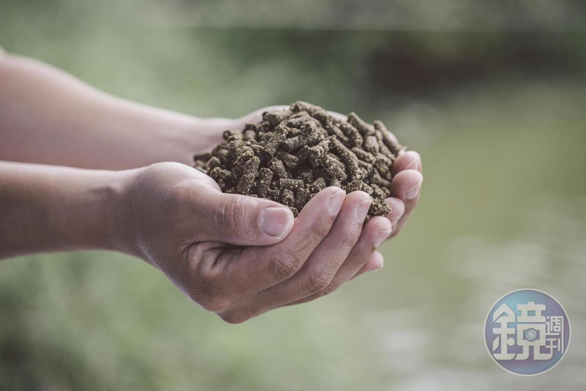 魚飼料中添加褐藻,提升魚隻免疫力。(照片提供:中華海洋生技)