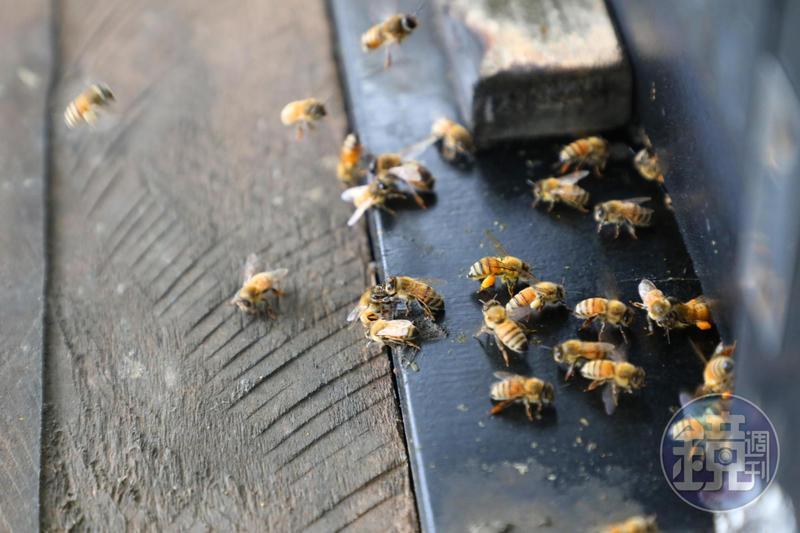 蜜蜂飛來飛去採蜜超療癒。