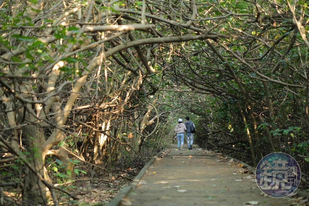 兩側低矮樹木,交錯生長,構成一條深幽寧靜的綠色隧道。