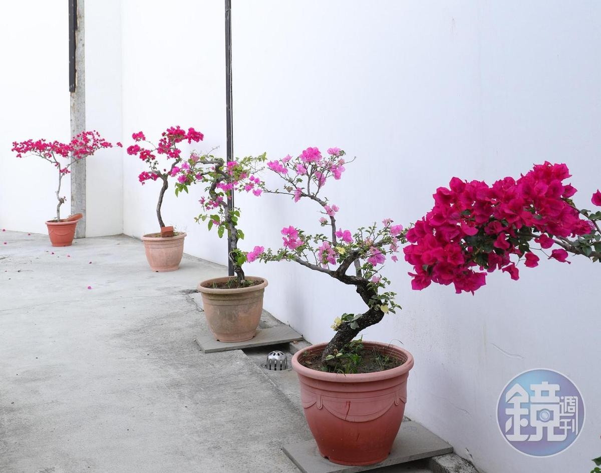 民宿外頭美麗的九重葛植栽。