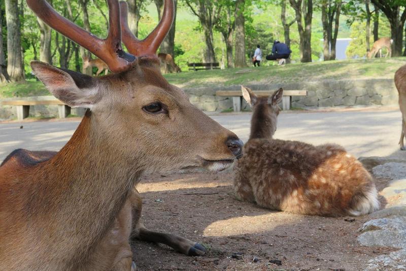 親自餵奈良小鹿已成為遊客前往日本關西不會錯過的行程,但其實吃了過多的仙貝,對小鹿的身體健康會造成負擔。(Pixabay/oichan7)