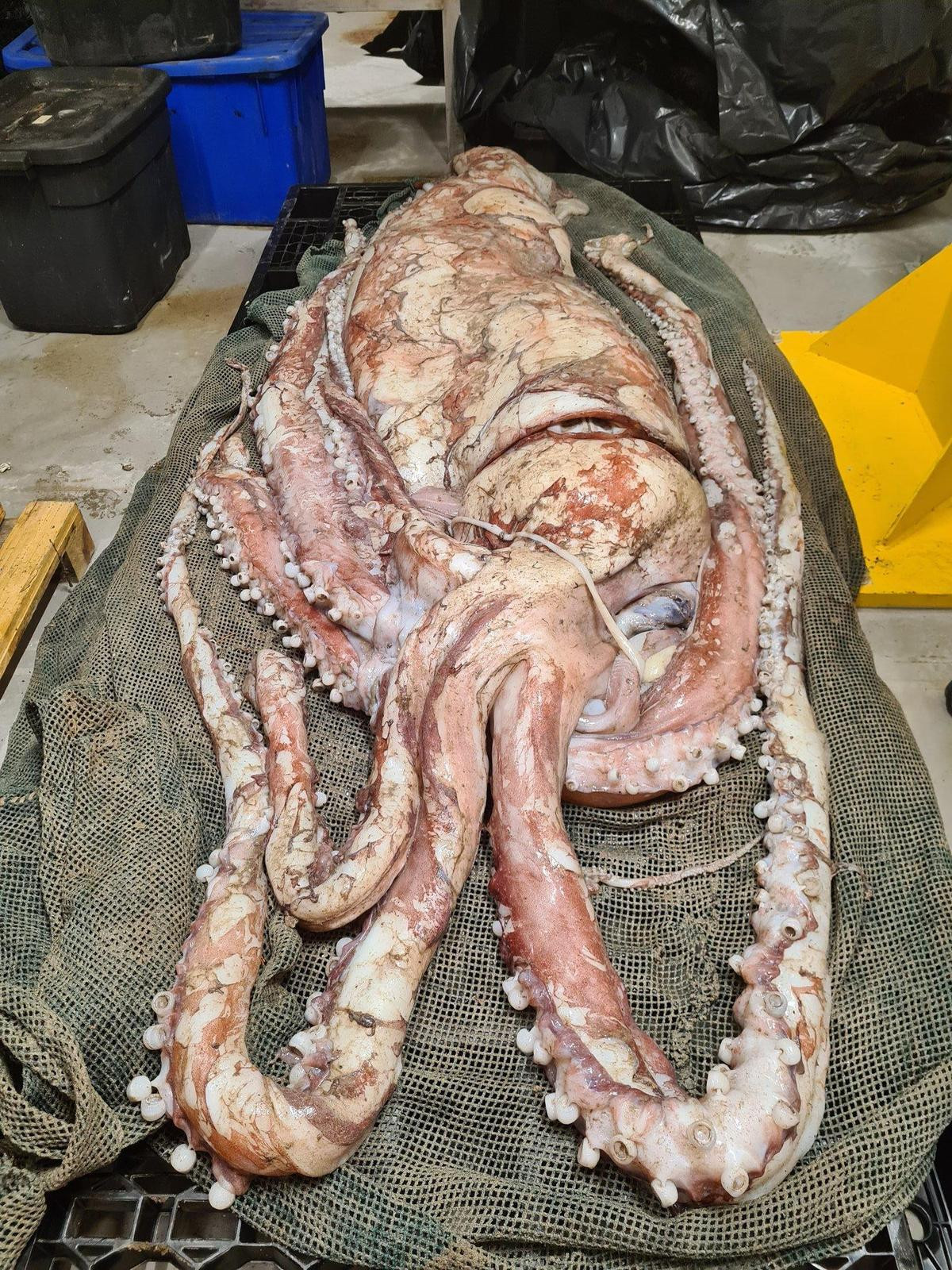 目前大王烏賊的遺體暫時存放在博物館中,等待疫情過去後由專家展開研究。(翻攝Wayne Florence推特)