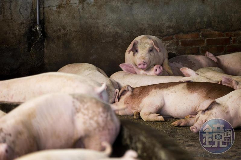 科學家在中國發現新型流感病毒,示警此病毒恐由豬傳人,引發全球大流行。(示意圖)