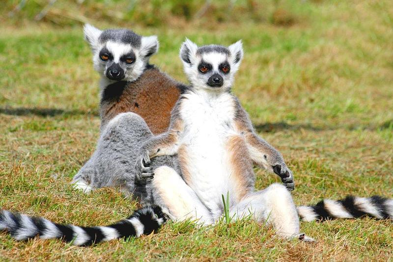 國際自然保護聯盟《紅色名錄》最新指出,33種狐猴被列入極度瀕危。(翻攝自維基百科)