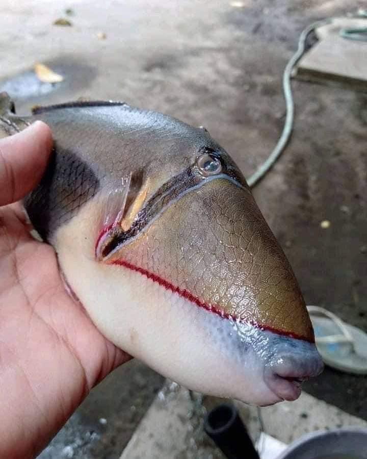 這種魚應屬於鱗魨科魚種,又稱做板機魚,個性非常凶悍。(翻攝自推特@raff_nasir)