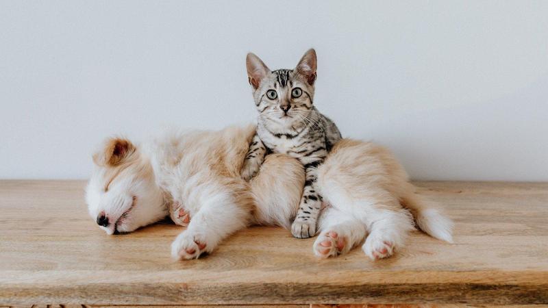 英國27日傳出首例寵物貓染疫,據悉是遭到確診的飼主傳染;示意圖。(Image by Bao_5 from Pixabay )