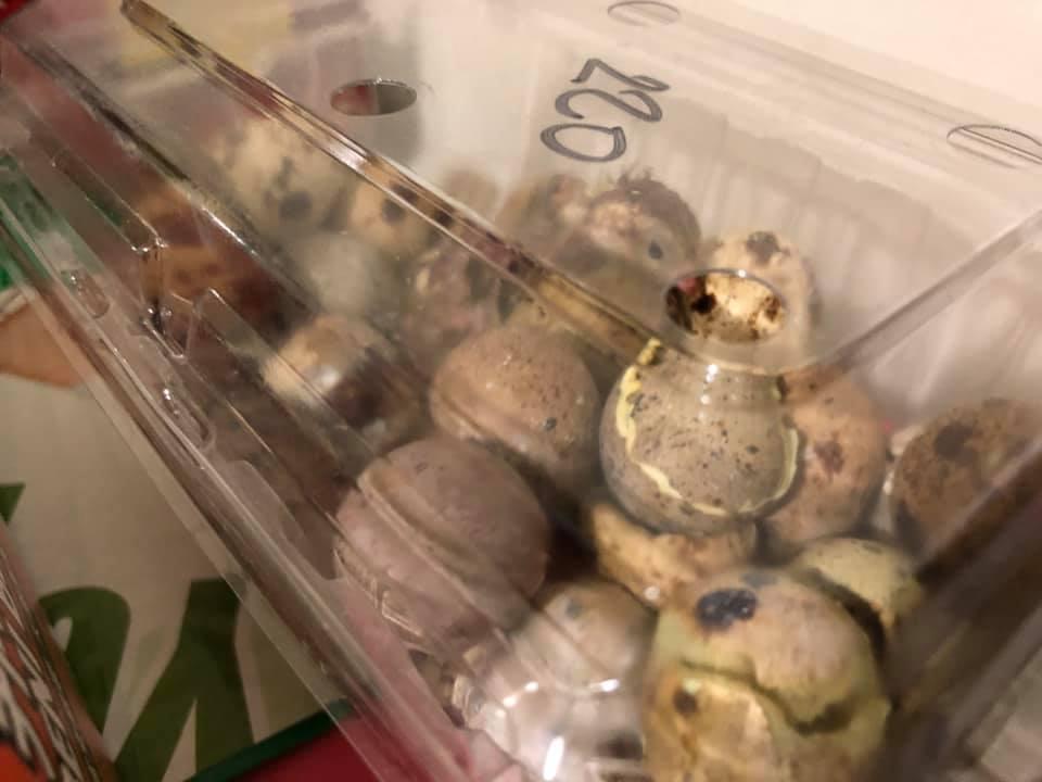 雲林有網友買了一盒鵪鶉蛋回家,結果竟孵化出十幾隻鵪鶉寶寶。(翻攝自西螺囝仔(Xiluo)臉書社團)