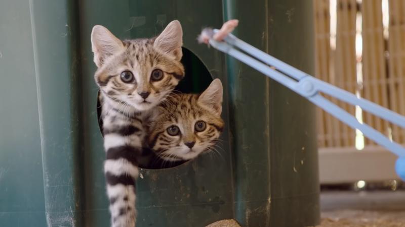 兩隻黑足貓幼仔嘗試吃肉。(翻攝自San Diego Zoo Safari Park YouTube頻道)