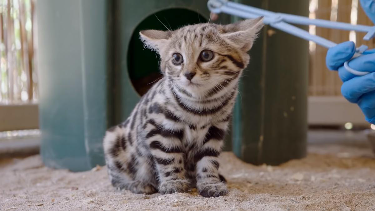 小貓吃完後滿足呼嚕。(翻攝自San Diego Zoo Safari Park YouTube頻道)