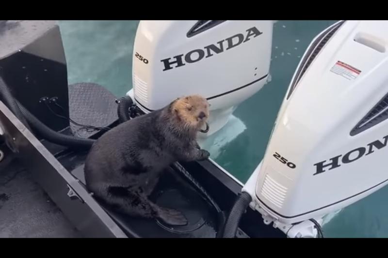 海獺為了逃避虎鯨追殺而跳上觀光船。(翻攝Coldwater Alaska)