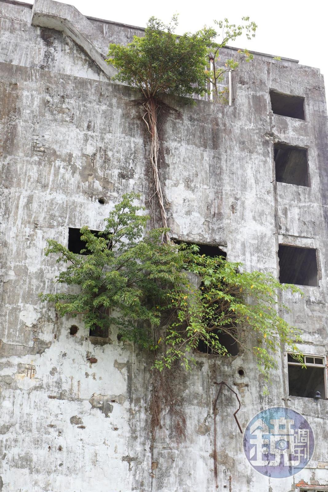 荒廢13年後,屋中的綠樹自己找到生命出口。