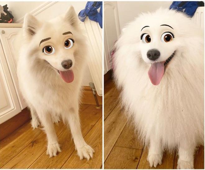 國外有飼主將自家的薩摩耶犬用濾鏡拍照PO網,圓滾滾的眼睛、配上細細的眉毛,類似迪士尼動畫《小姐與流氓》和《101忠狗》的風格。(翻攝自Snowdrops.and.stardust Instagram)