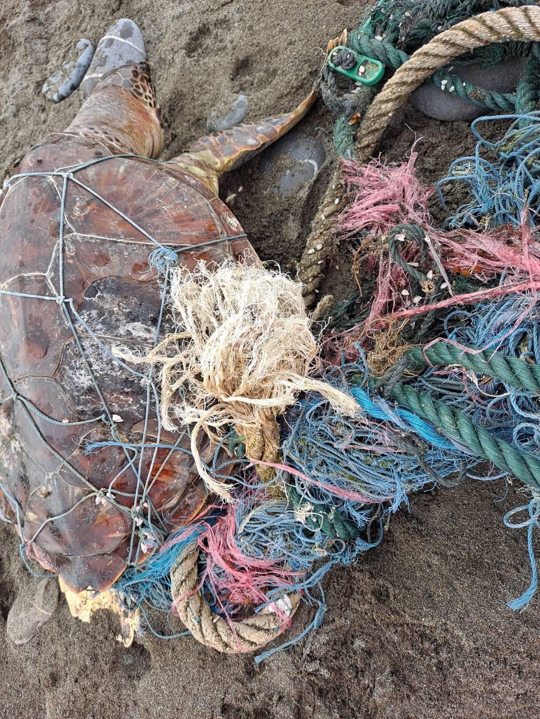 死亡海龜被廢棄漁網纏繞,已明顯死亡多時,且盾片有碎裂情形,背甲曲線長62公分、寬40公分。(翻攝自海巡署東部分署第一二岸巡隊)