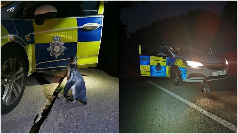 英國警方分享凌晨巡邏遇到的有趣經驗,竟在大馬路上看見企鵝。(翻攝自Broxtowe North Police臉書)