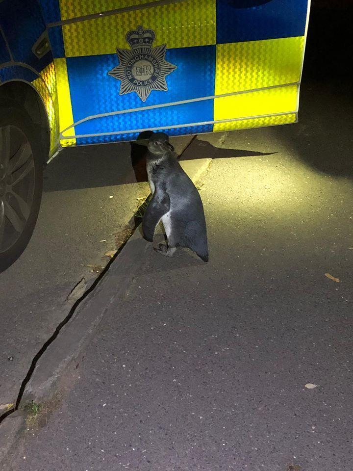 英國警方表示,該隻出逃的企鵝相當友善,包含遇到牠到送回其主人的過程都相當友好。(翻攝自Broxtowe North Police臉書)